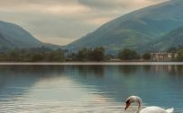 High Resolution Nature Wallpaper for Mobile Phone with Picture of Swan on Lake