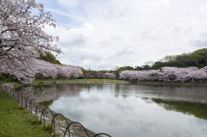 Beautiful Nature Wallpapers with Cherry Trees Scenery in Oita prefecture