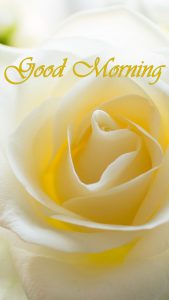 Good Morning Images with White Rose Flower in Close Up for Mobile Phones