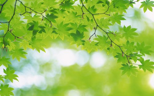 Greenery Wallpapers HD with Green Maple Leaves