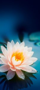10 Wallpapers That Will Look Perfect On Your Xiaomi Redmi Note 9 Pro #02 - Lotus Flower
