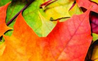 Oppo Reno4 Pro 5G Nature Wallpaper 01 0f 10 - Maple Leaves in Autumn