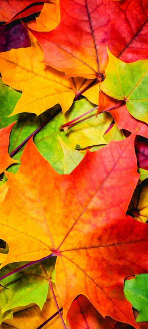 Oppo Reno4 Pro 5G Nature Wallpaper 01 0f 10 - Maple Leaves in Autumn