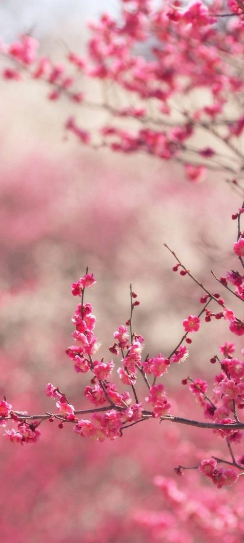 Cool Wallpapers for Xiaomi Redmi Note 9 Pro 5G with Pink Cherry Blossoms