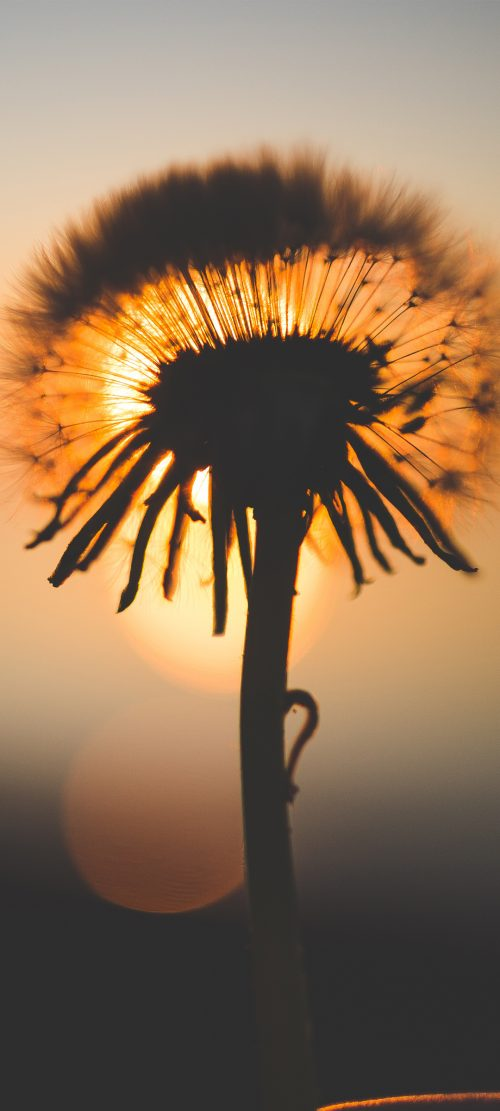 Nature Wallpapers for Mobile Phone with Macro Photo of Dandelion on Sunset