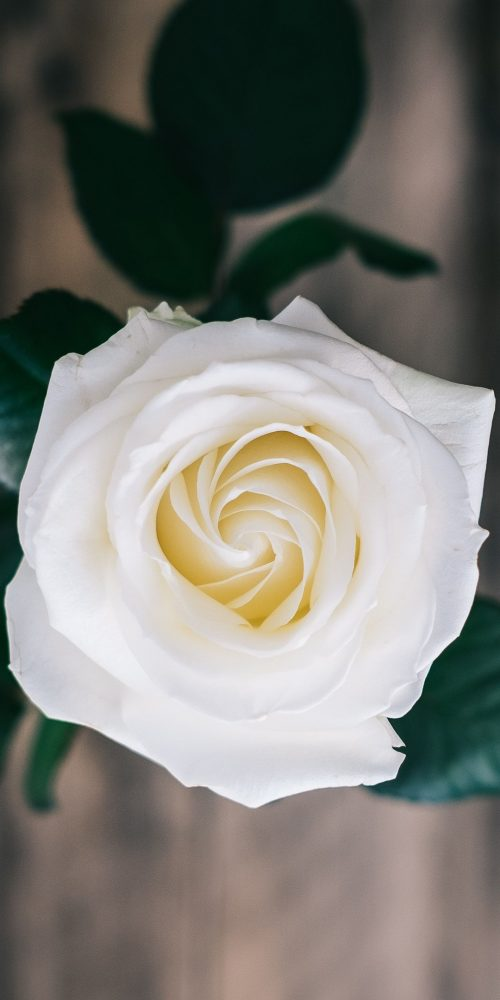 Close-Up Picture of White Rose for Mobile Phone Home Screen Wallpaper