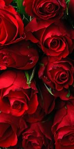 Red Roses Flower Wallpaper for Smartphone Background